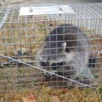 Raleigh raccoon removal company