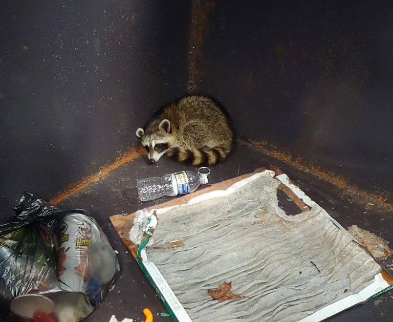 raccoon removal Clayton NC