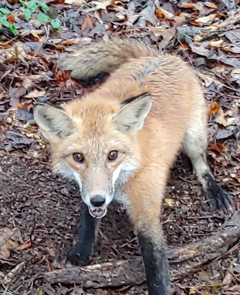 Triangle Fox Removal
