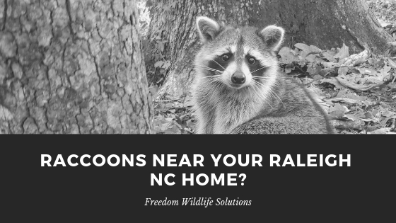 Raccoon Removal Raleigh NC