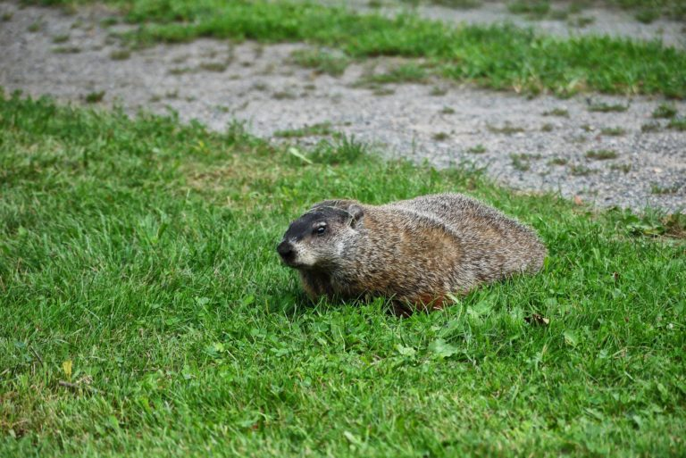 Raleigh Groundhog removal
