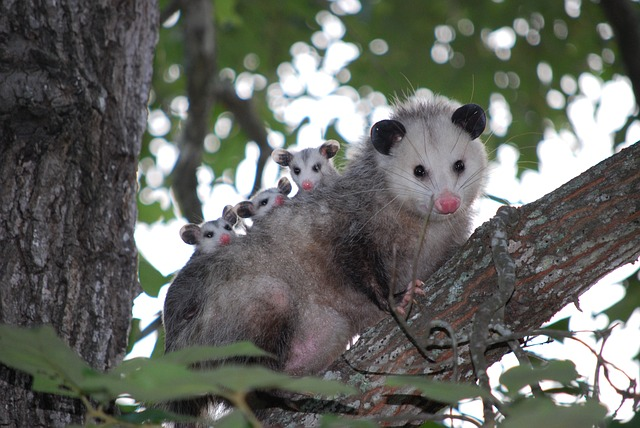 removing opossums from your home