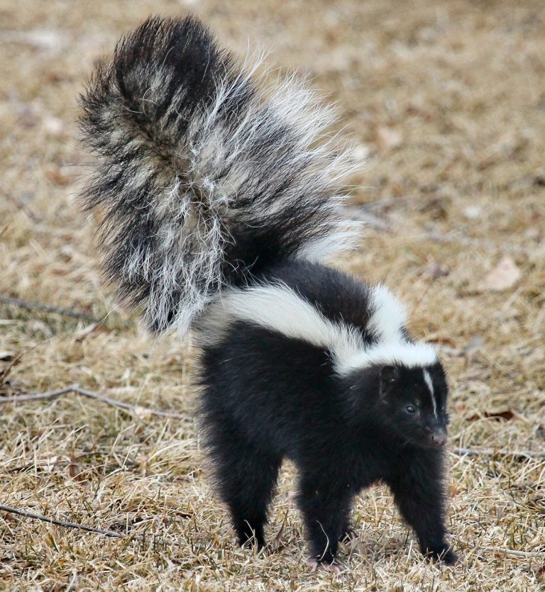skunk removal raleigh nc
