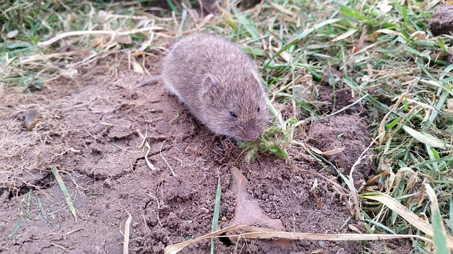 what does a vole look like