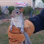 Clayton Squirrel Removal