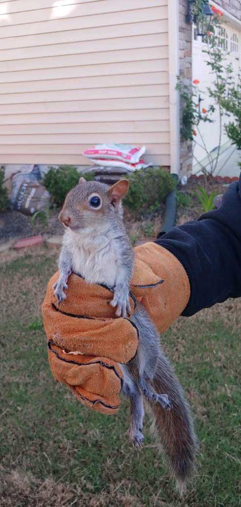 Clayton Squirrel Removal