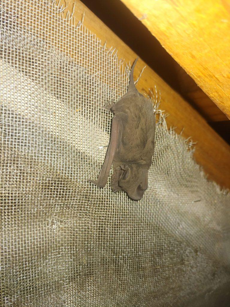 Bat Removal Clayton NC