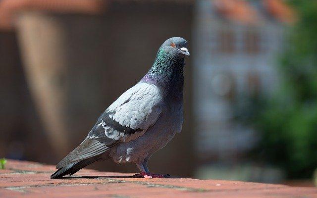 Pigeon Control