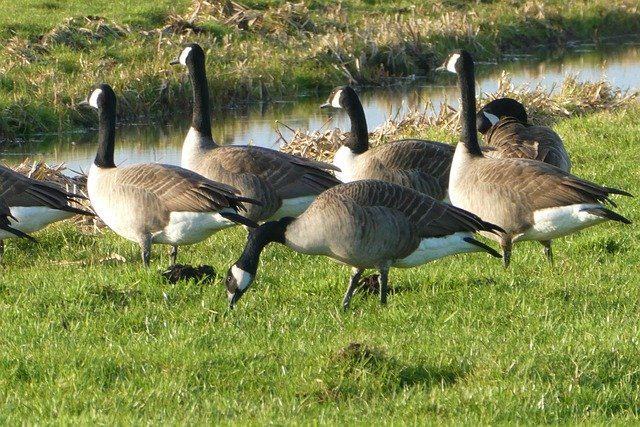 Geese Management